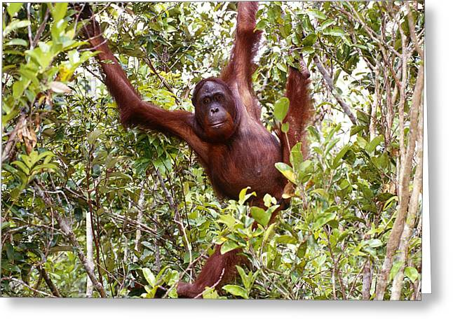 Wild Orangutan Greeting Card by Art Wolfe