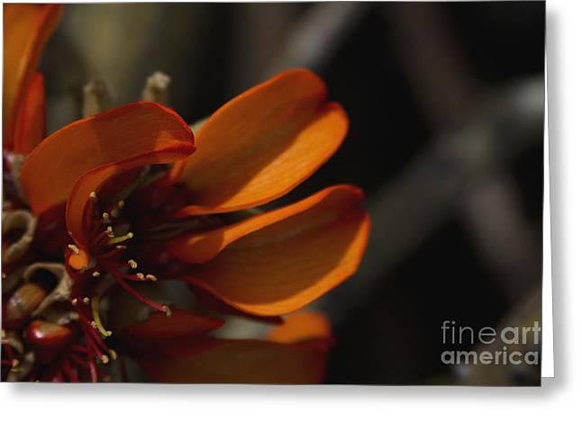 Wiliwili Flowers - Erythrina Sandwicensis - Kahikinui Maui Hawaii Greeting Card by Sharon Mau