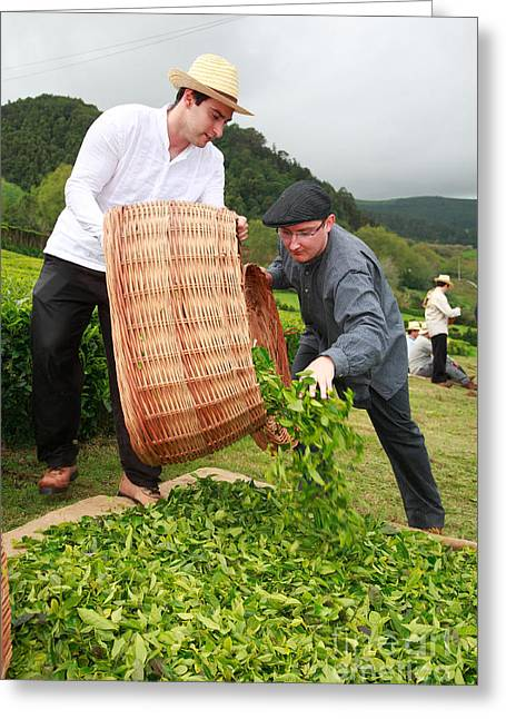Manual Labor Greeting Cards - Working in the tea gardens Greeting Card by Gaspar Avila