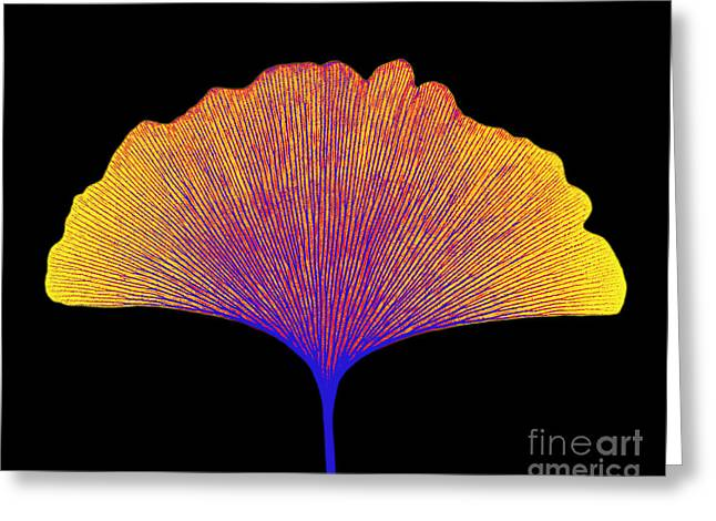 Radiograph Greeting Cards - X-ray Of Ginkgo Leaf Greeting Card by Bert Myers
