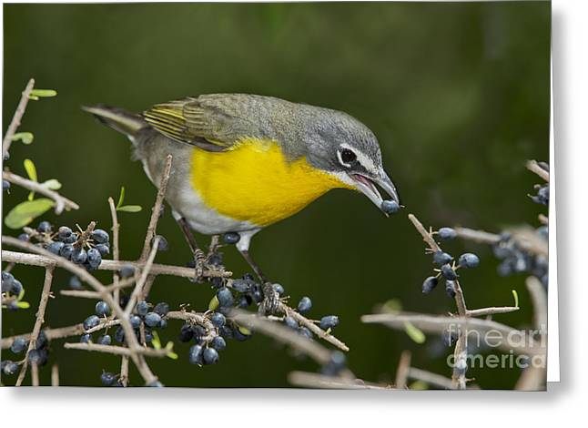 Wood Warbler Greeting Cards - Yellow-breasted Chat Greeting Card by Anthony Mercieca