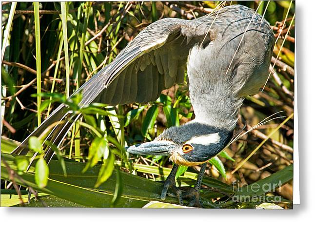 Crowned Heron Greeting Cards - Yellow Crowned Night Heron Greeting Card by Millard H. Sharp