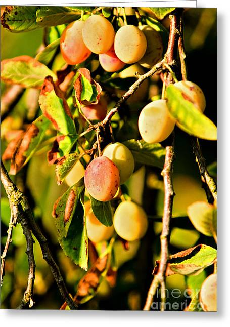 Healthy Greeting Cards - Yellow Plums Greeting Card by Dan Radi
