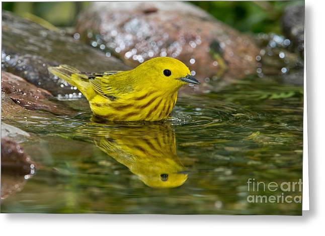 Reflection In Water Greeting Cards - Yellow Warbler Greeting Card by Anthony Mercieca