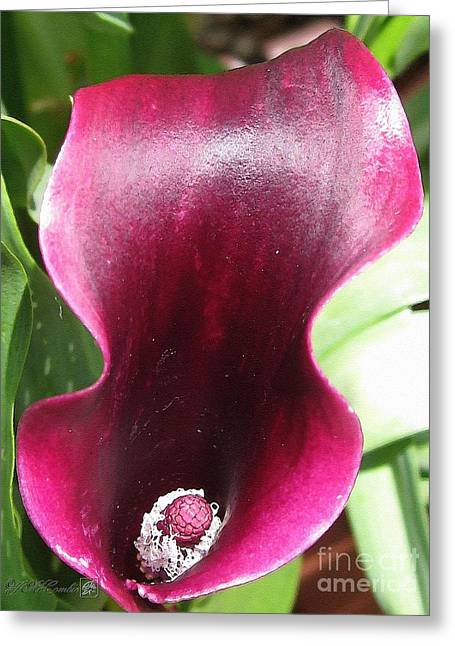 Red Wine Prints Greeting Cards - Zantedeschia named Schwarzwalder Greeting Card by J McCombie
