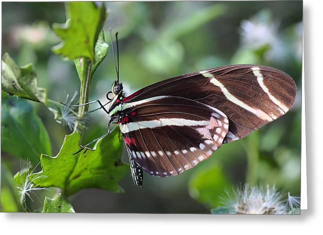 Zebra Eating Greeting Cards - Zebra Longwing Butterfly Greeting Card by Rudy Umans