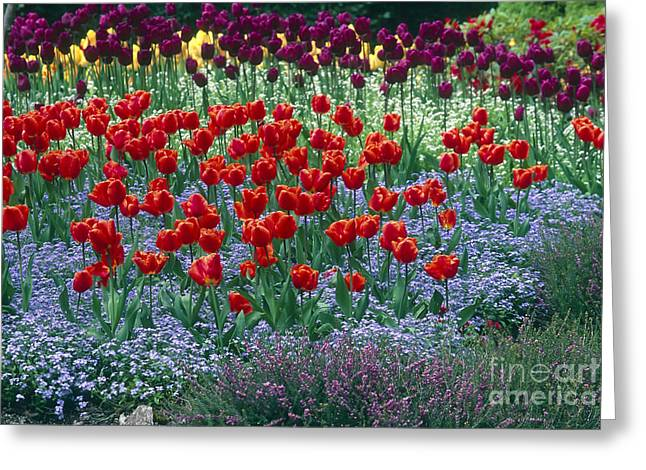 Babys Breaths Greeting Cards - Butchart Garden Tulips Greeting Card by Kevin Miller