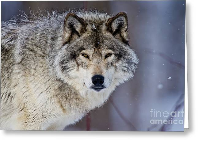 Wolves Greeting Cards - Timber Wolf Greeting Card by Michael Cummings