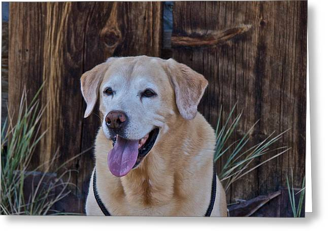 Yellow Dog Greeting Cards - Yellow Labrador Greeting Card by Steven Lapkin