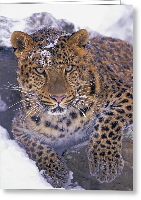 Predating Greeting Cards - 30792d, Amur Leopard, Winter Greeting Card by First Light