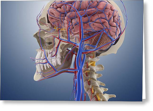 Facial Artery Greeting Cards - Head and neck anatomy, artwork Greeting Card by Science Photo Library