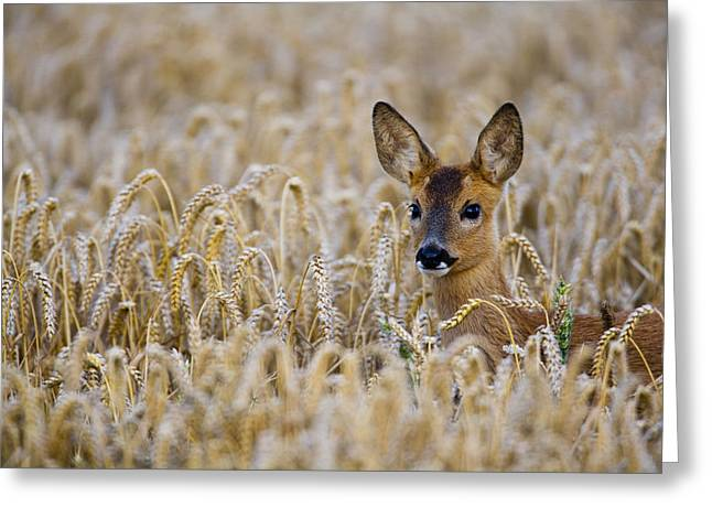 Harvest Time Greeting Cards - Roe Deer Greeting Card by Don Hooper