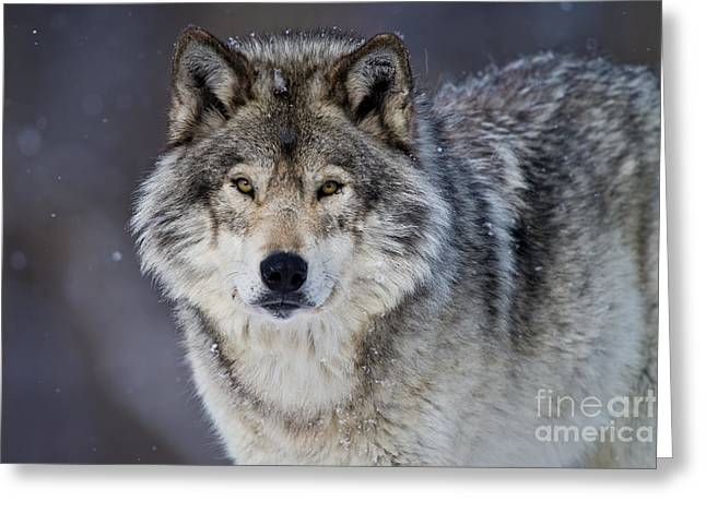 Michael Cummings Greeting Cards - Timber Wolf Greeting Card by Michael Cummings