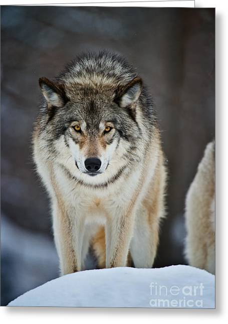 Animals Greeting Cards - Timber Wolf Pictures Greeting Card by Michael Cummings