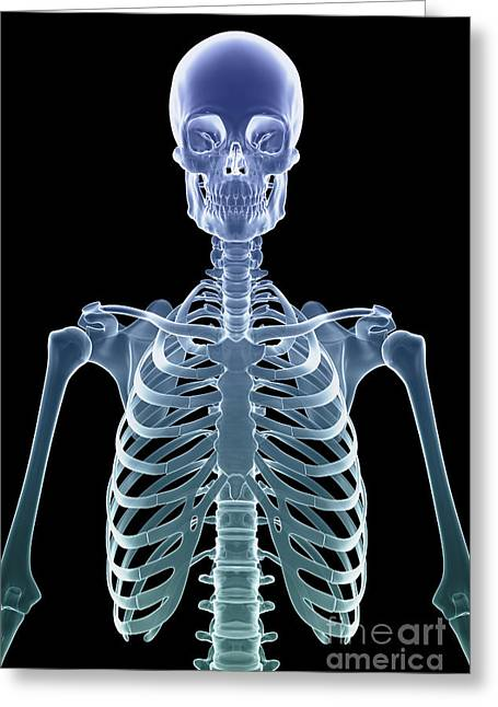 Cervical Vertebrae Greeting Cards - Bones Of The Upper Body Greeting Card by Science Picture Co
