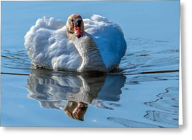 Mute Swan Greeting Card by Brian Stevens