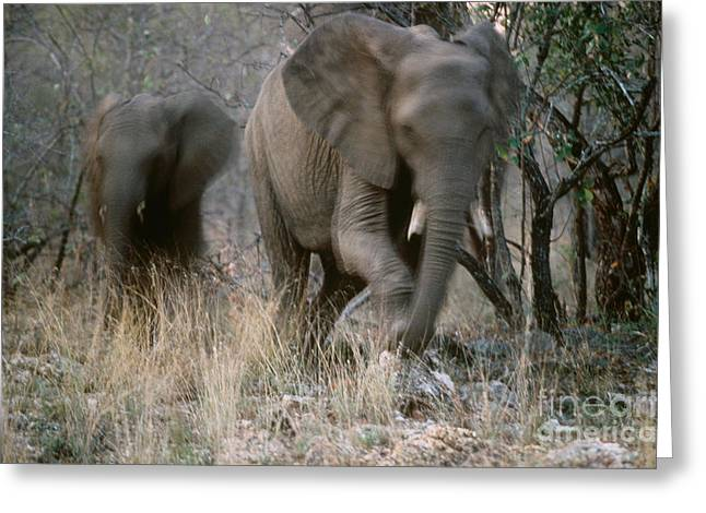 African Elephants Greeting Card by Art Wolfe