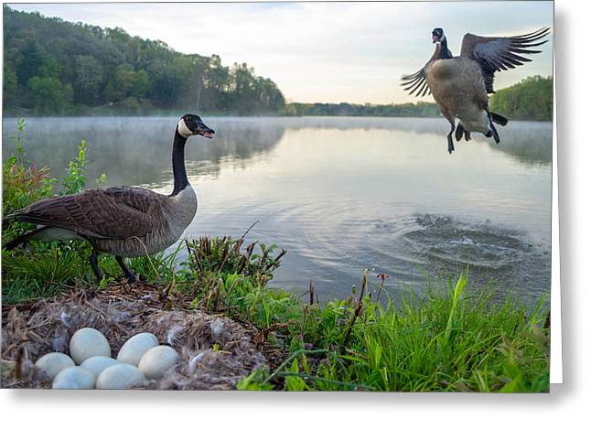 Mother Goose Greeting Cards - Canada Geese Greeting Card by Brian Stevens