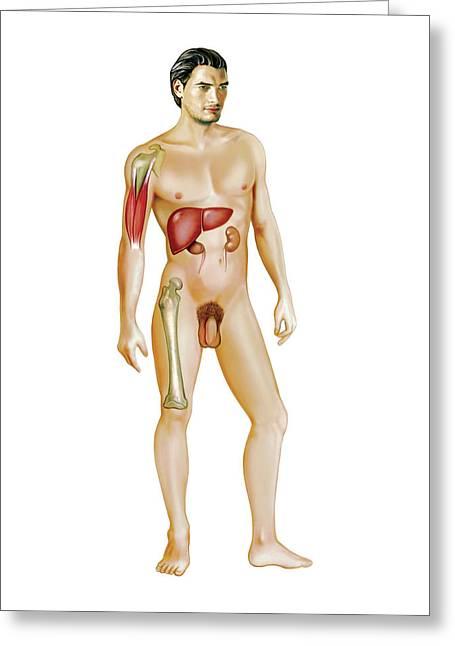 Male Genital System Greeting Card by Asklepios Medical Atlas