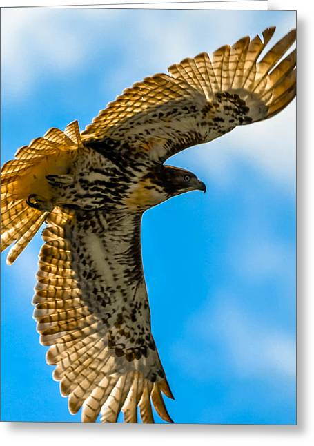 Red-tailed Hawk Greeting Card by Brian Stevens