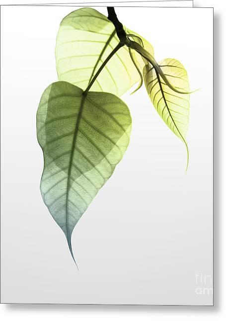 Photosynthesis Greeting Cards - Pho Or Bodhi Greeting Card by Atiketta Sangasaeng