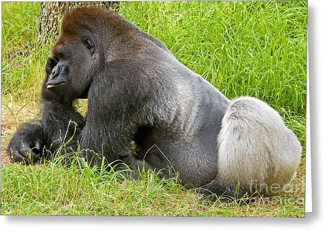 Wildlife In Captivity Greeting Cards - Western Lowland Gorilla Greeting Card by Millard H. Sharp