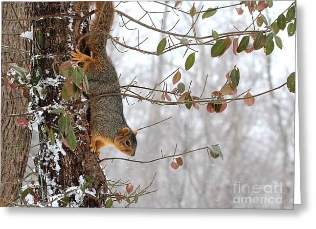 Eastern Fox Squirrel Greeting Cards - Eastern Fox Squirrel Greeting Card by Jack R Brock