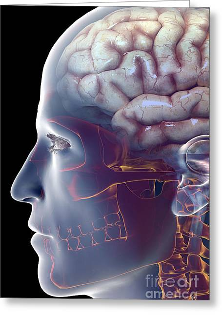 Central Nervous System Greeting Cards - Human Brain Greeting Card by Science Picture Co