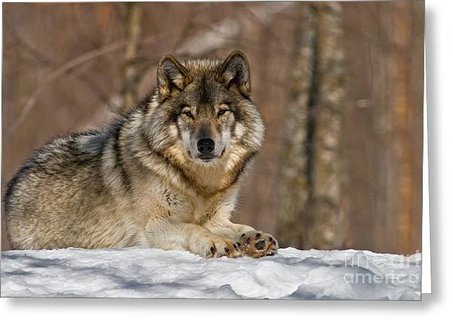 Wolves Greeting Cards - Timber Wolf Pictures Greeting Card by Michael Cummings