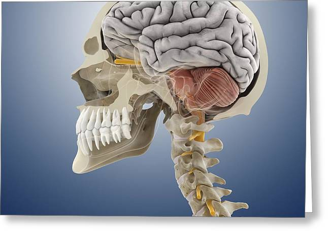 Crowned Head Greeting Cards - Head and neck anatomy, artwork Greeting Card by Science Photo Library