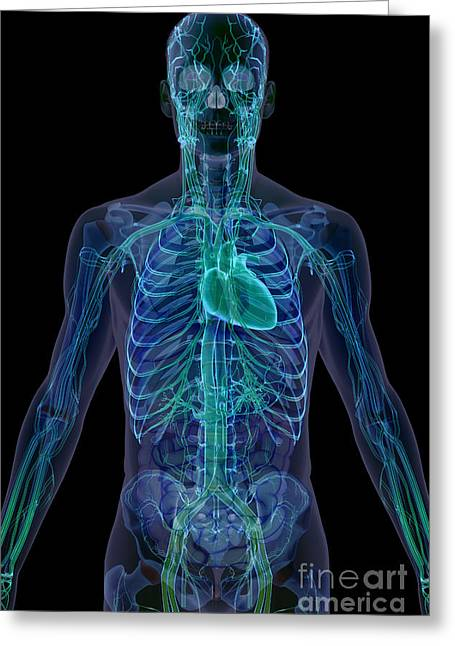Cava Greeting Cards - The Cardiovascular System Greeting Card by Science Picture Co