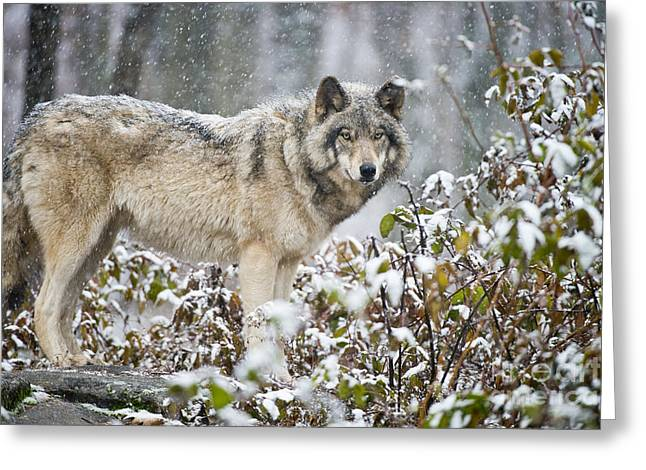 Timber Wolf Pics Greeting Cards - Timber Wolf Greeting Card by Michael Cummings
