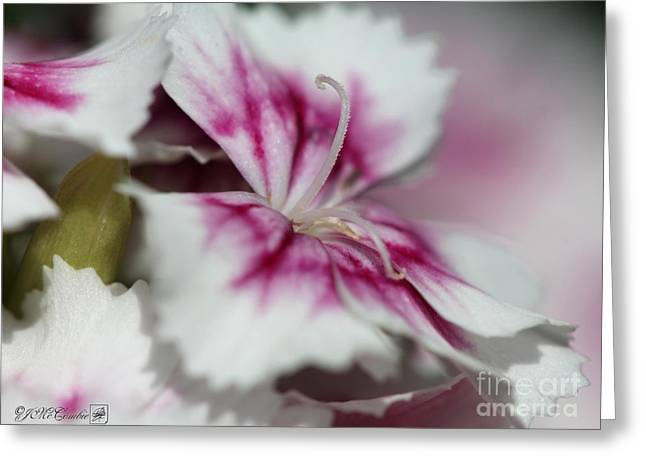 Flower Blossom Greeting Cards - Sweet William from the Super Duplex Bluepoint Mix Greeting Card by J McCombie