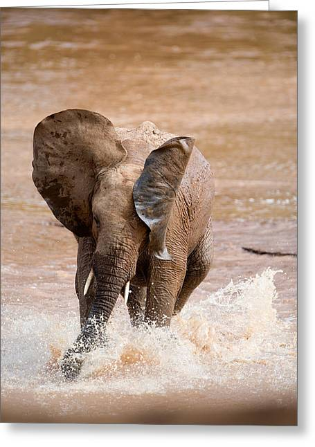 National Reserve Greeting Cards - African Elephant Loxodonta Africana Greeting Card by Panoramic Images