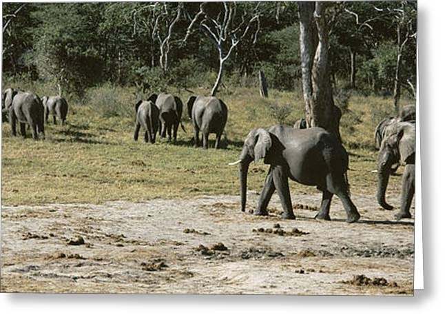 Zimbabwe Photographs Greeting Cards - African Elephants Loxodonta Africana Greeting Card by Panoramic Images