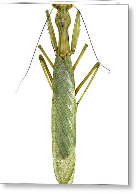Mantodea Greeting Cards - African mantis Greeting Card by Science Photo Library