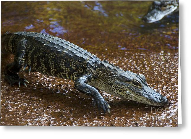 American Alligator Greeting Card by Mark Newman