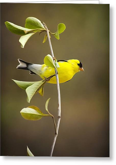 American Goldfinch Greeting Cards - American Goldfinch Greeting Card by Christina Rollo