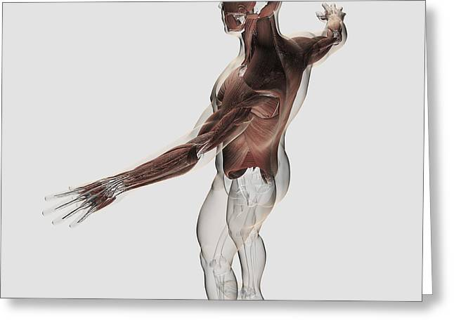 Anatomy Of Male Muscles In Upper Body Greeting Card by Stocktrek Images