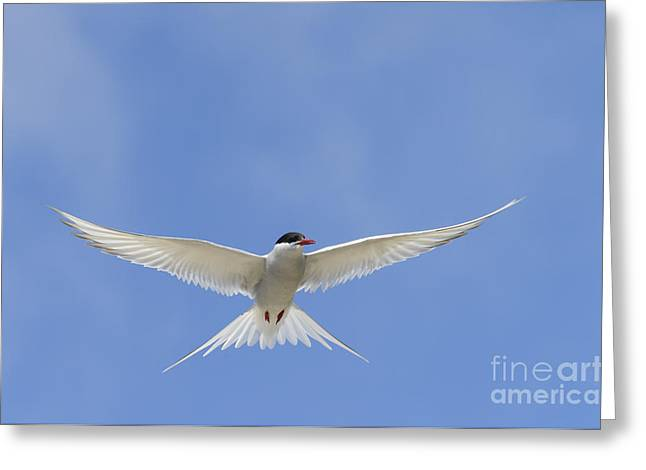 Arctic Tern Greeting Card by John Shaw