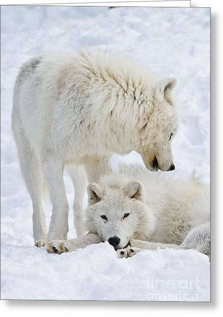 Animal Photography Greeting Cards - Arctic Wolves Greeting Card by Michael Cummings