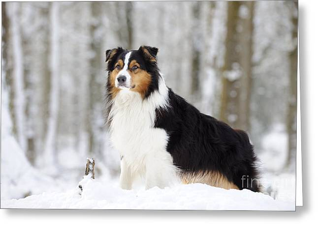 Australian Shepherd Dog Greeting Card by John Daniels