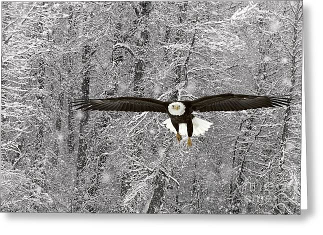 Eagles In Storms. Bald Eagles Greeting Cards - Bald Eagle In Flight Greeting Card by Ron Sanford