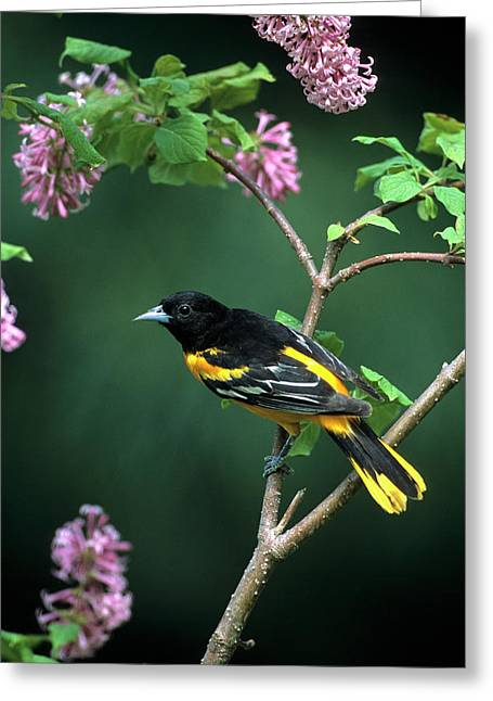Baltimore Oriole (icterus Galbula Greeting Card by Richard and Susan Day