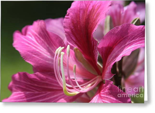 Pinks And Purple Petals Photographs Greeting Cards - Bauhinia blakeana - Hong Kong Orchid - Hawaiian Orchid Tree  Greeting Card by Sharon Mau