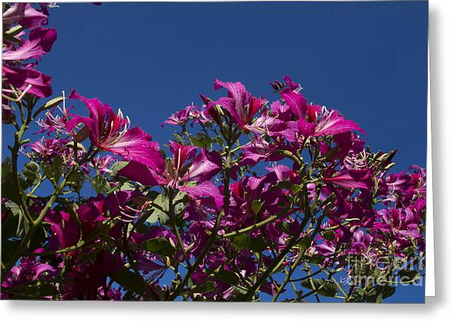 Pinks And Purple Petals Photographs Greeting Cards - Bauhinia Purpurea - Hawaiian Orchid Tree Greeting Card by Sharon Mau
