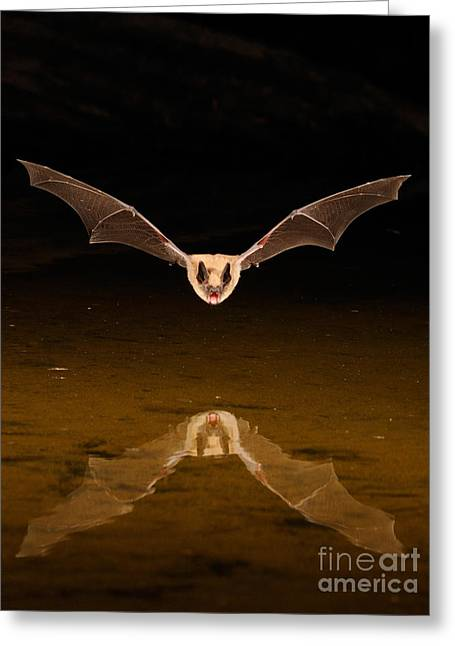 Reflection In Water Greeting Cards - Big Brown Bat Greeting Card by Scott Linstead