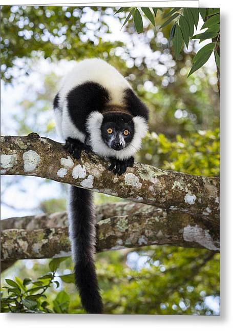 Black And White Ruffed Lemur Madagascar Greeting Card by Konrad Wothe