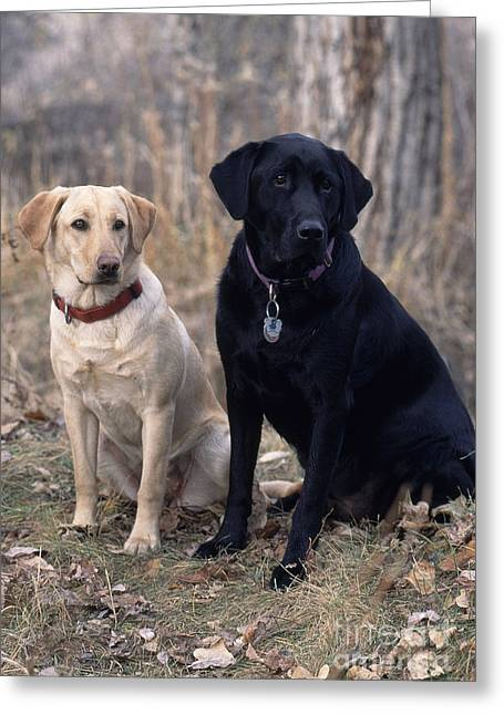 Bred Greeting Cards - Black And Yellow Labrador Retrievers Greeting Card by William H. Mullins