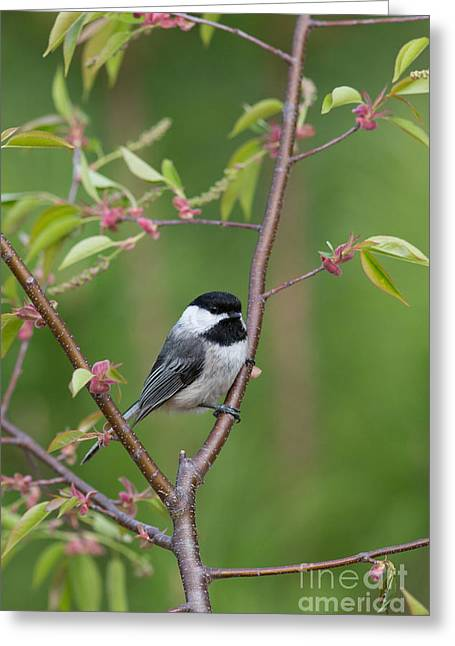 Birdbath Greeting Cards - Black-capped Chickadee Poecile Greeting Card by Linda Freshwaters Arndt
